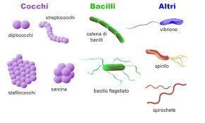 batteri del microbiota cocchi, bacilli e altri