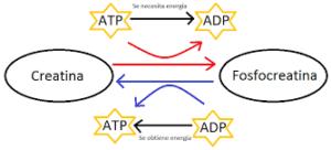 creatina-fosfocreatina e adp-atp sintesi