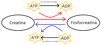 creatina-fosfocreatina e adp-atp sintesi