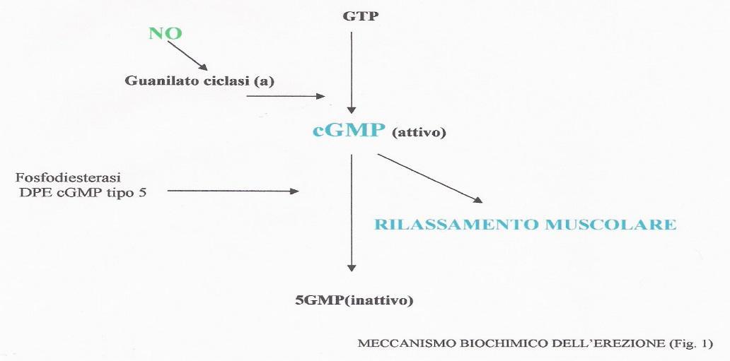 Ossido Nitrico meccanismo d'azione