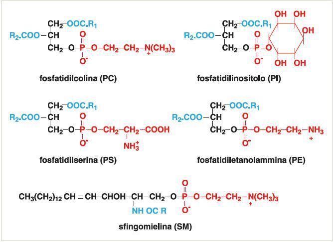 Grafico con struttura chimica dei fosfolipidi
