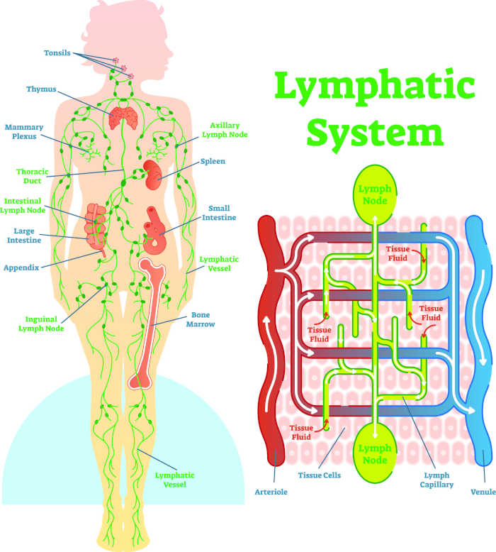 sistema linfatico grafico