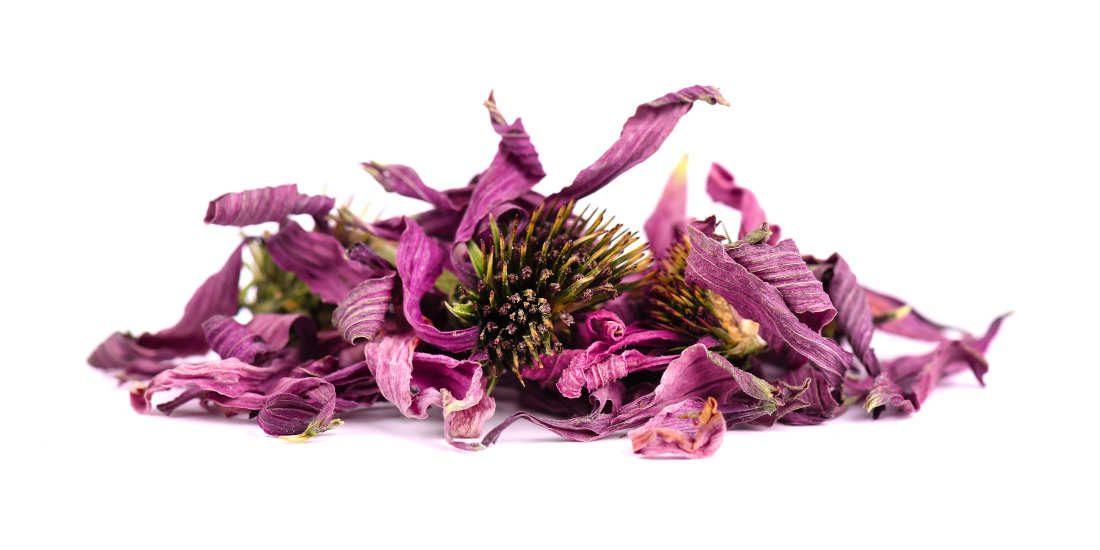 Echinacea, proprietà e controindicazioni di questo immunostimolante naturale